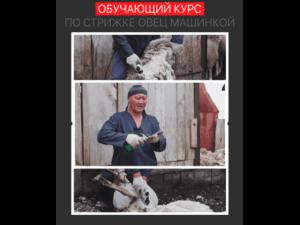Курс обучения стрижке овец машинкой